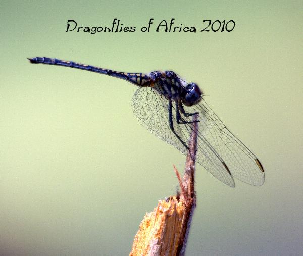 View Dragonflies of Africa 2010 by Robert DeMarco