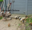 Backyard Chickens, as listed under Home & Garden